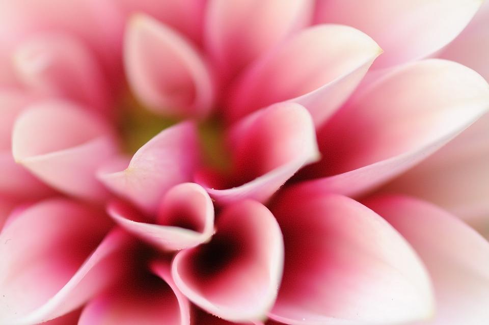Flower, Pink Flower, Plant, Macro, Pink, Petal