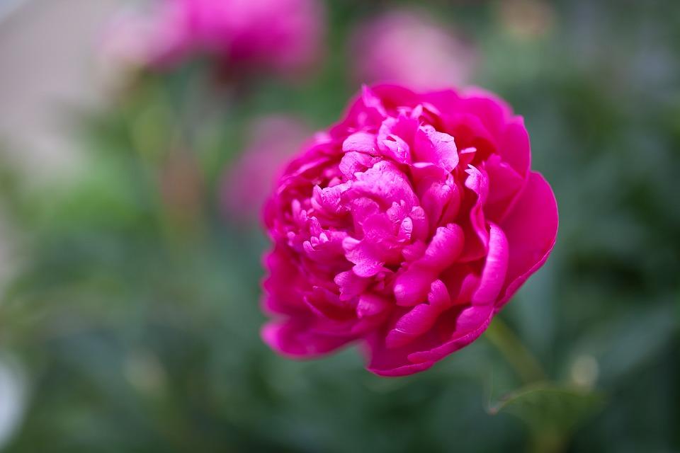 Peony, Flower, Pink, Plant