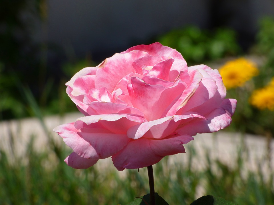 Rosa, Pink, Flower, Petals, Plant, Nature