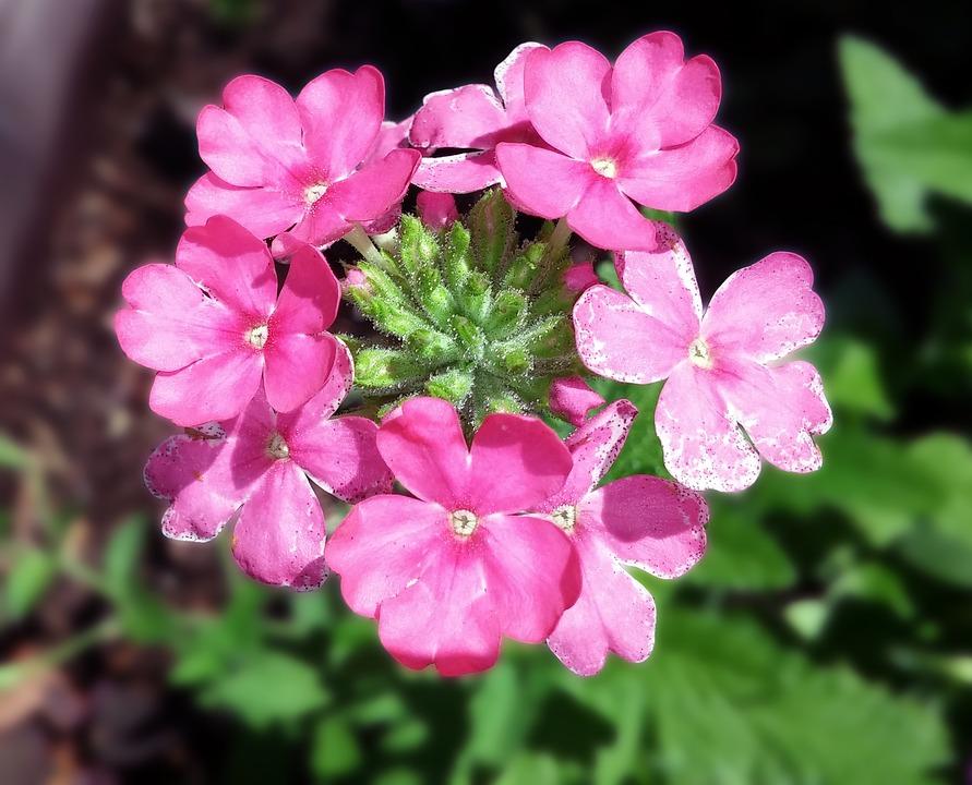 Verbena, Flower, Verbenaceae, Pink, Vervain, Plant