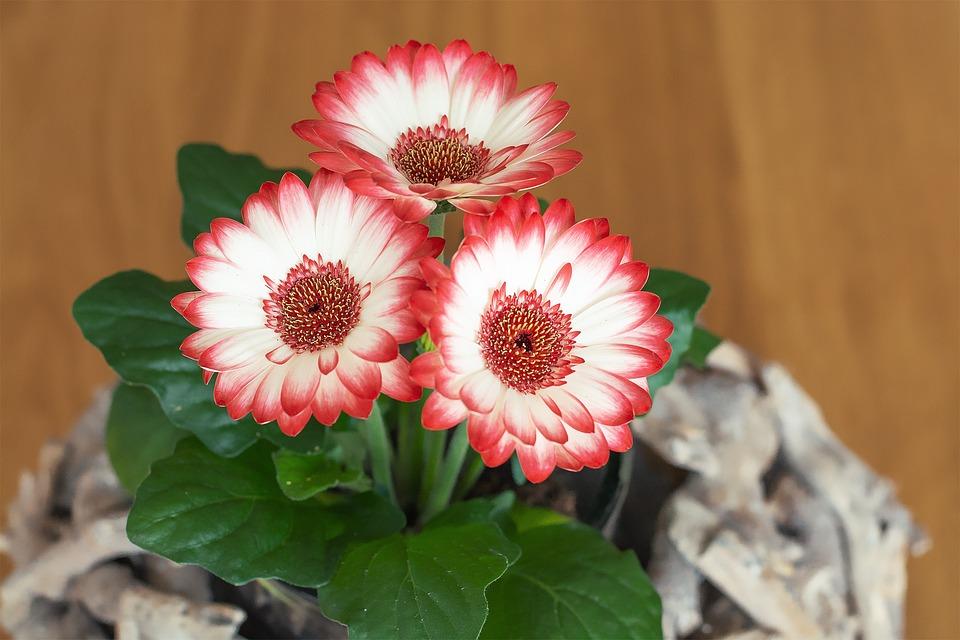 Gerbera, Flowers, Plant, Spring Flowers, Pink, White