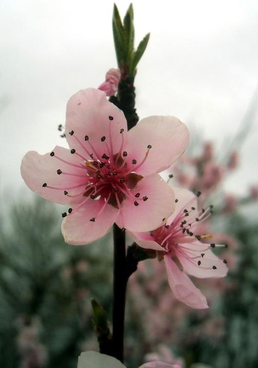 Flower, Nature, Plant, Cherry, Petal, Pistil, Rod