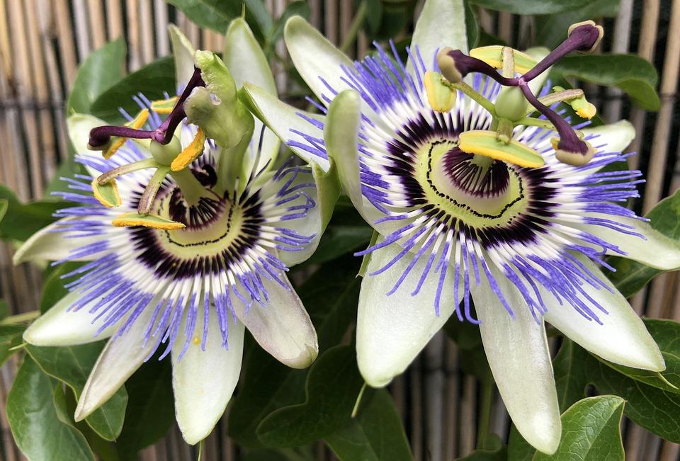 Flowers, Passion, Plant, Nature, Purple, Pistil
