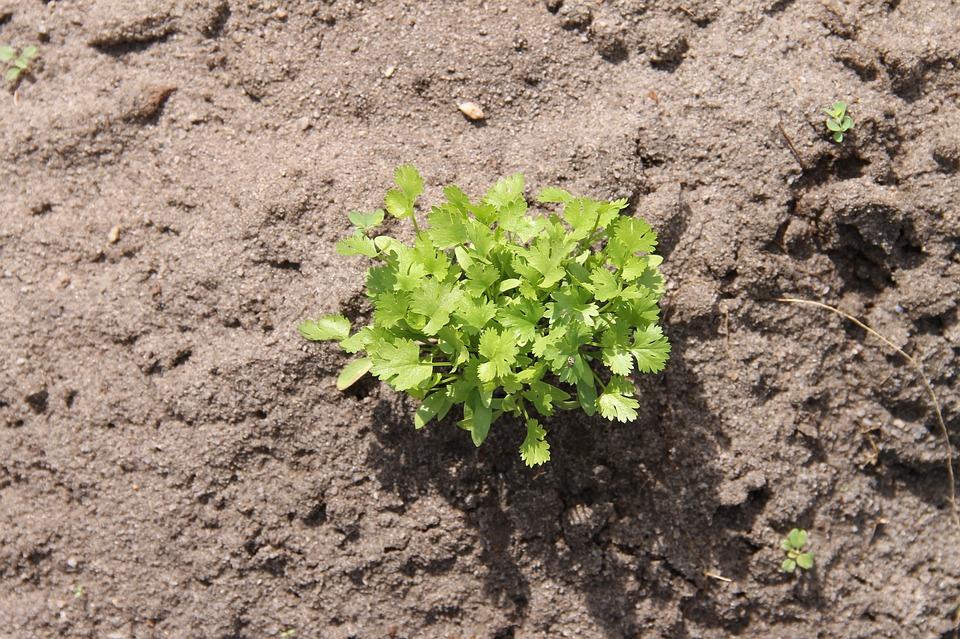Coriander, Plant, Vegetable, Irrigation, Planting