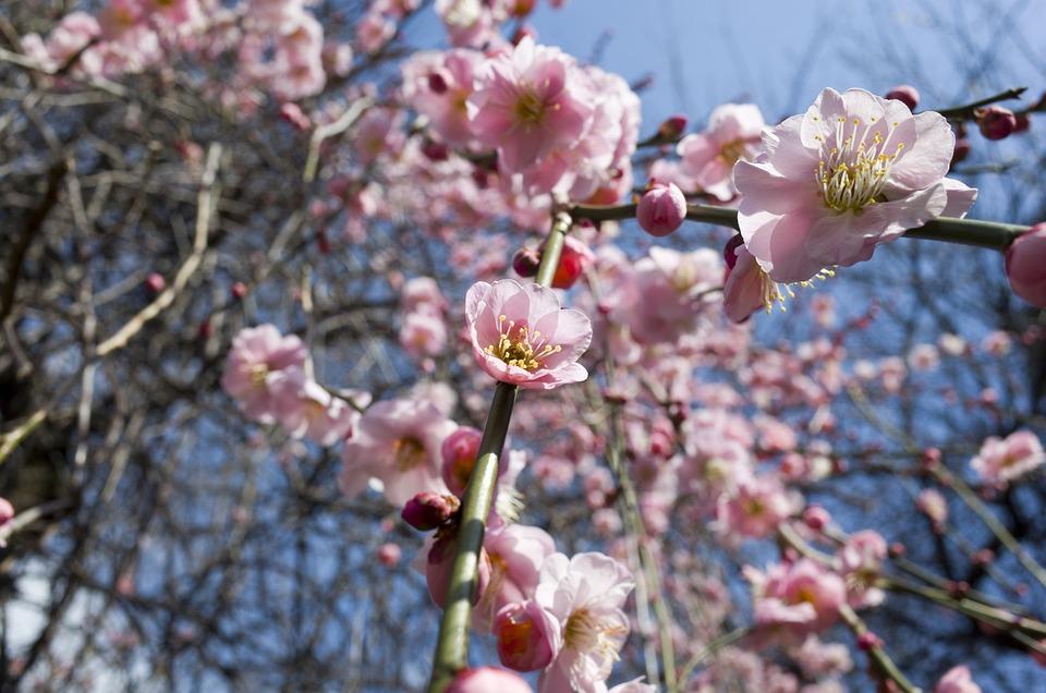Plum, Tree, Plant, Plum Blossoms, Flowers, Japan