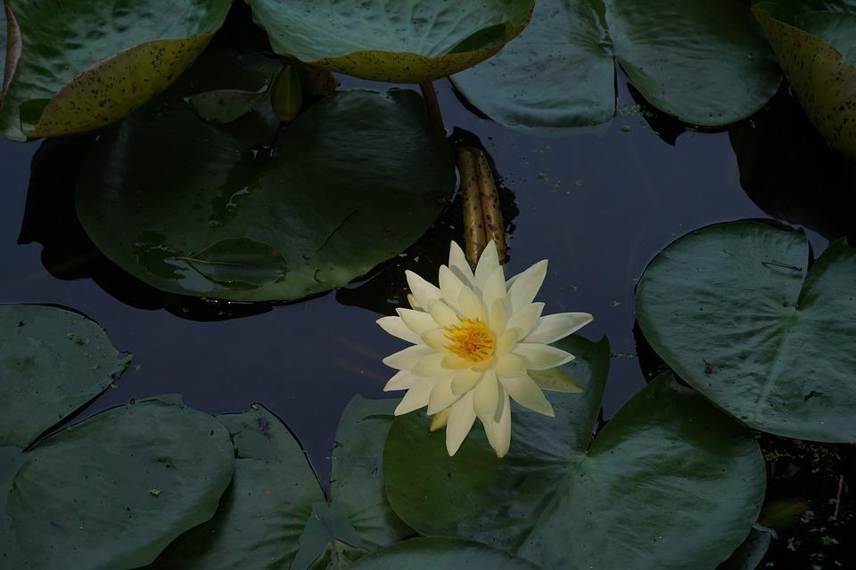 Leaf, Flower, Pond, Plant
