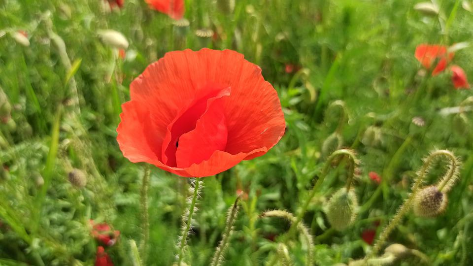 Poppies, Summer, Plant
