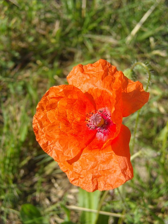 Poppy, Flower, Plant, Floral, Red Flower