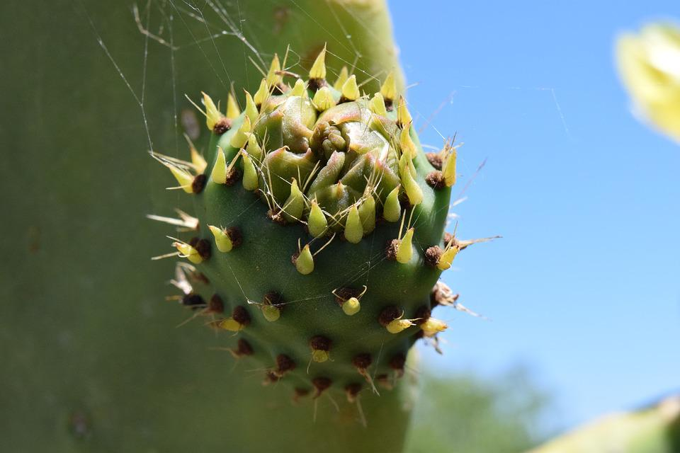 Cactus, Prickly Pear, Cactus Greenhouse, Plant, Prickly