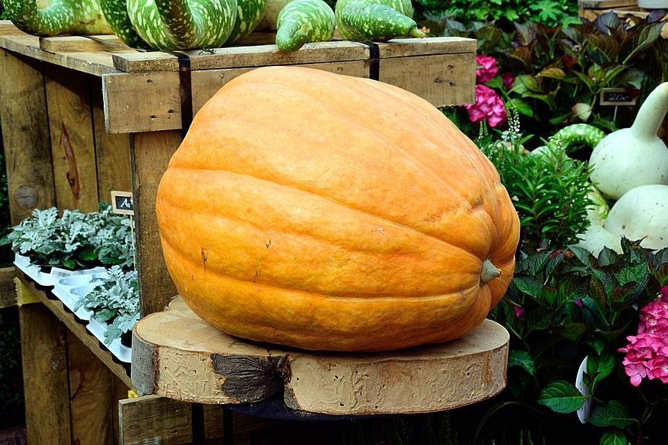 Pumpkin, Yellow, Large, Huge, Choice Choose, Plant