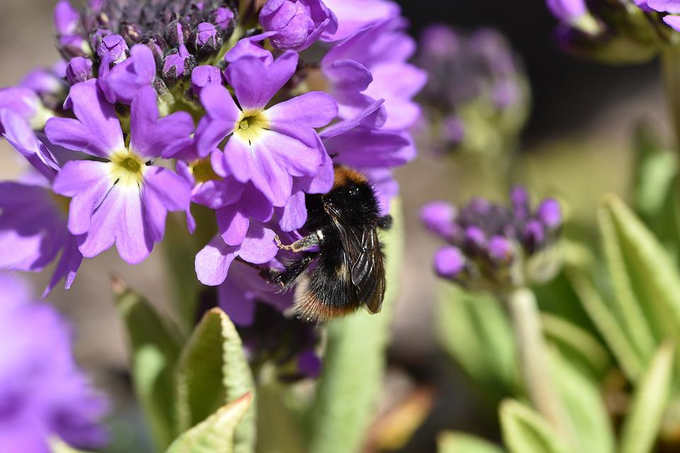 Hummel, Insect, Flower, Flowers, Purple, Plant