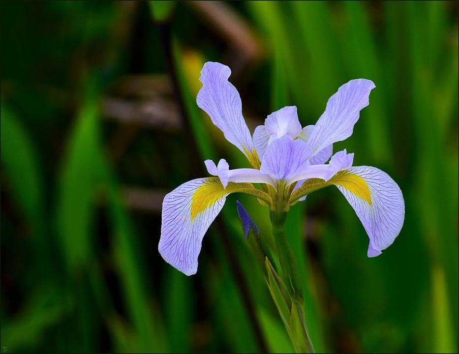 Dutch Iris, Purple, Nature, Flower, Floral, Plant