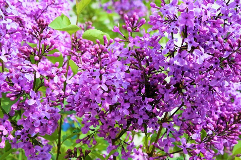 Flowers, Spring, Nature, Plant, Color, Pink, Purple