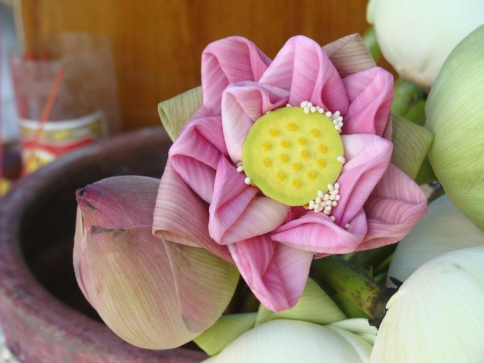 Lotus Flower, Purple, Plant
