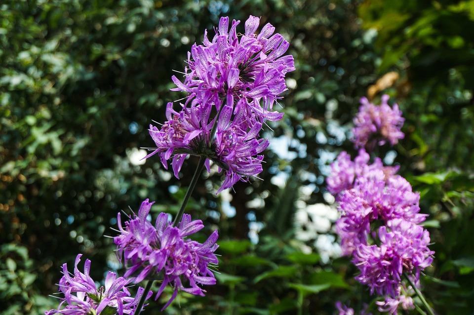 Flowers, Nature, Plant, Garden, Flora, Purple