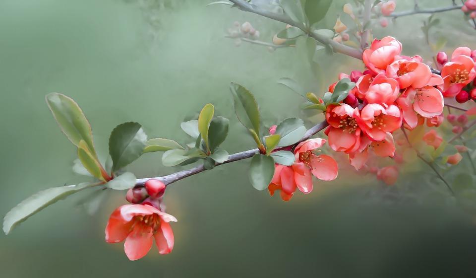 Flower, Flowers, Quince, Bush, Spring, Nature, Plant