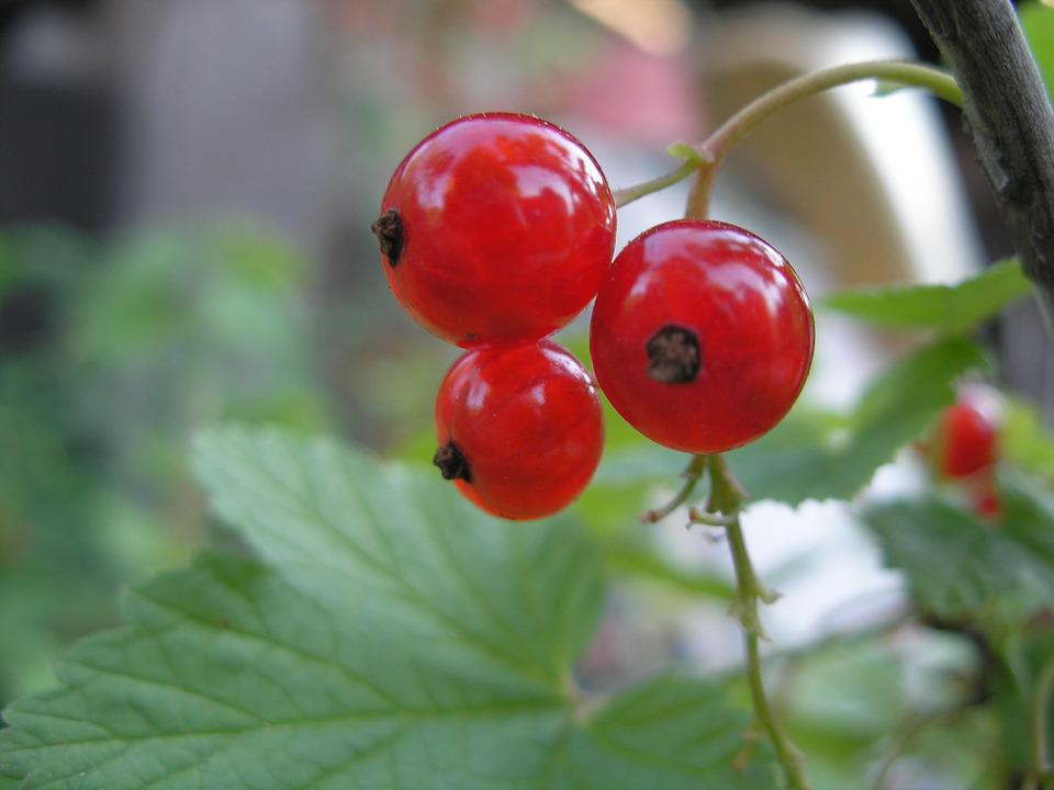 Currant, Plant, Red Currant