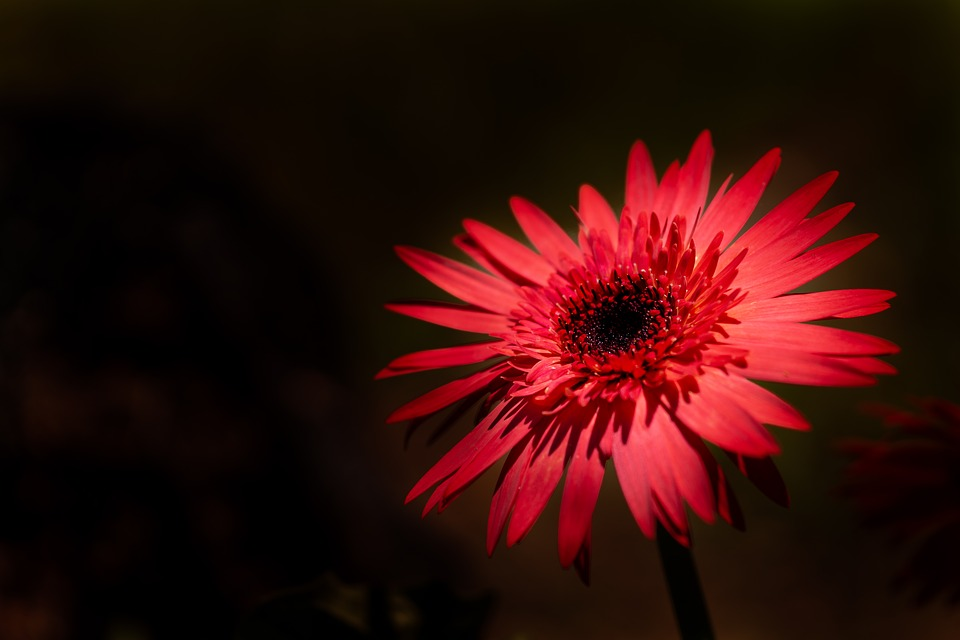 Red, Daisy, Flower, Plant, One, Petals, Petal, Nature
