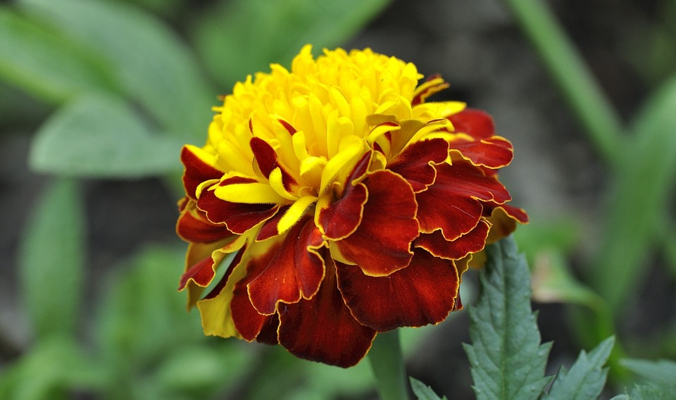 Free photo plant red yellow carnation flower bloom blossom max pixel carnation plant flower blossom bloom red yellow mightylinksfo