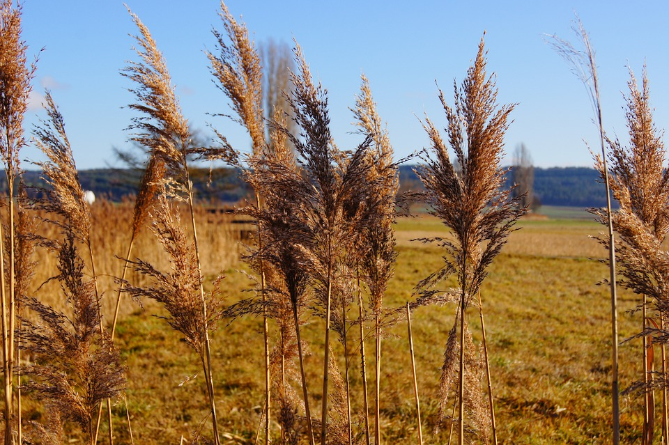 Nature, Reed, Plant, Marsh Plant, Green