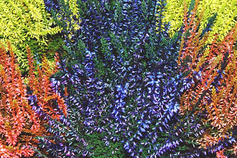 Heiden, Retama, Erika, Colorful, Plant, Nature, Flowers