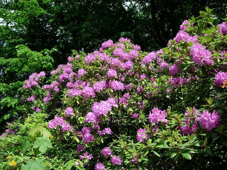 Rhododendron, Plant, Bush, Spring, Purple, Bright, Pink