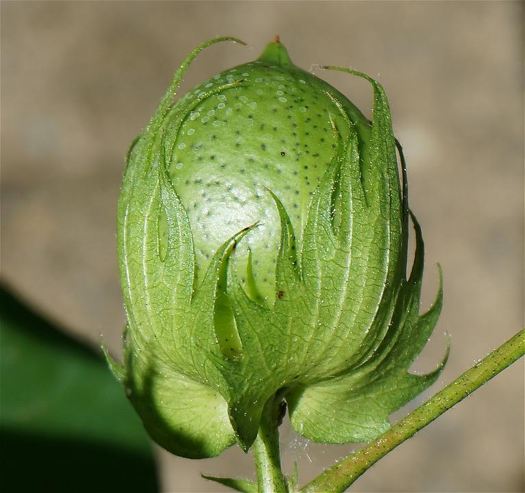 Ripening Cotton Boll, Cotton Boll, Cotton, Seed, Plant