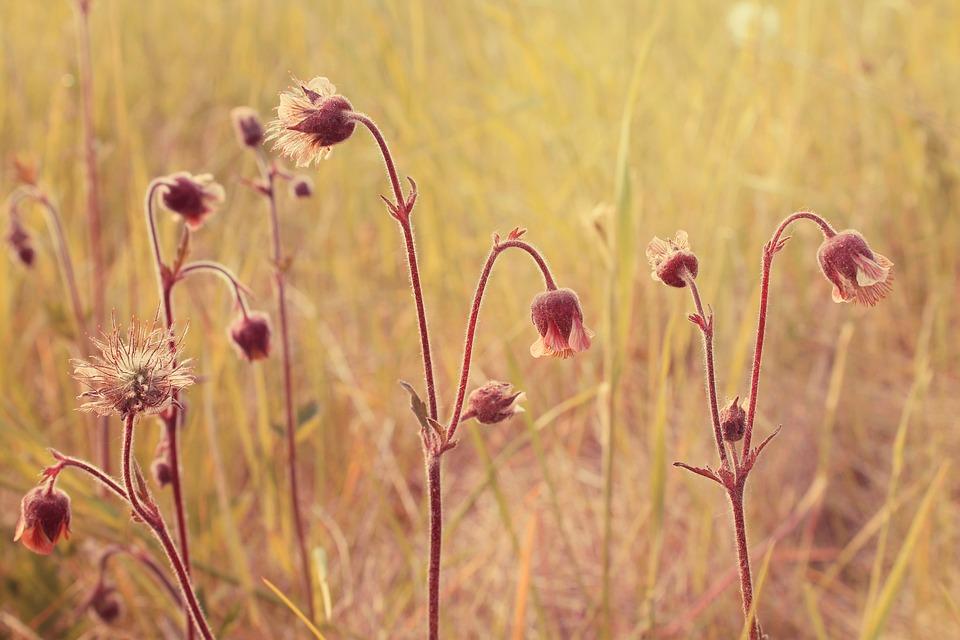 Water, Avens, Geum, Rivale, Flowering, Plant, Europe