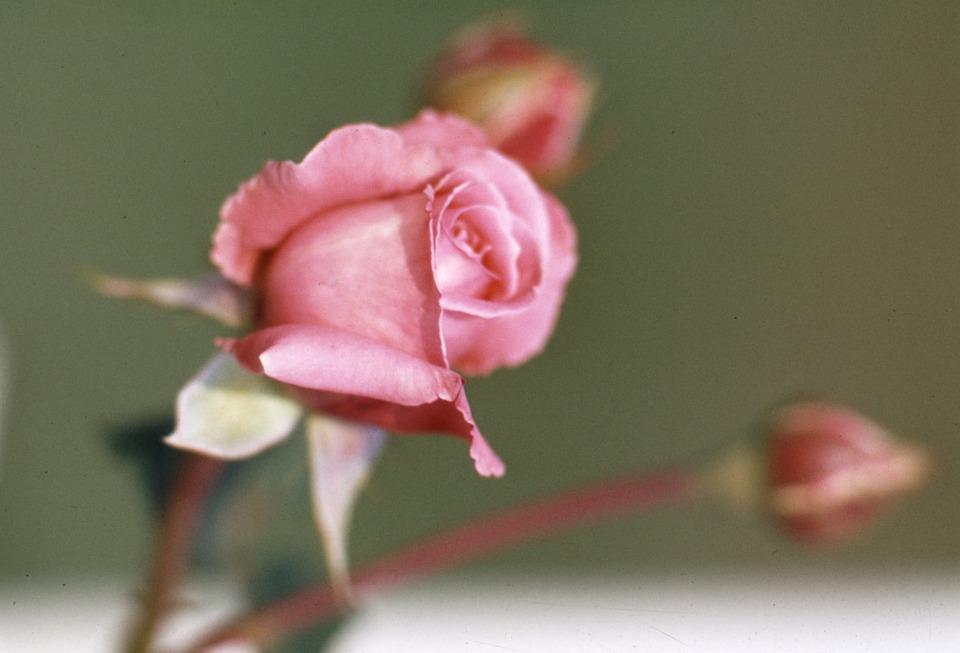 Rose, Plant, Blossom, Bloom