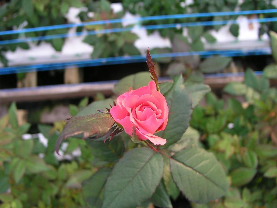 Rose, Flower, Bloom, Blossom, Plant