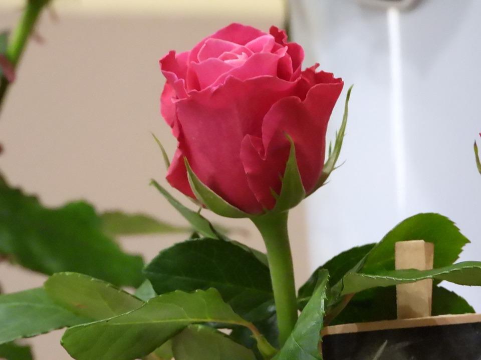 Rose, Pink, Flower, Figure, Romantic, Plant, Beauty