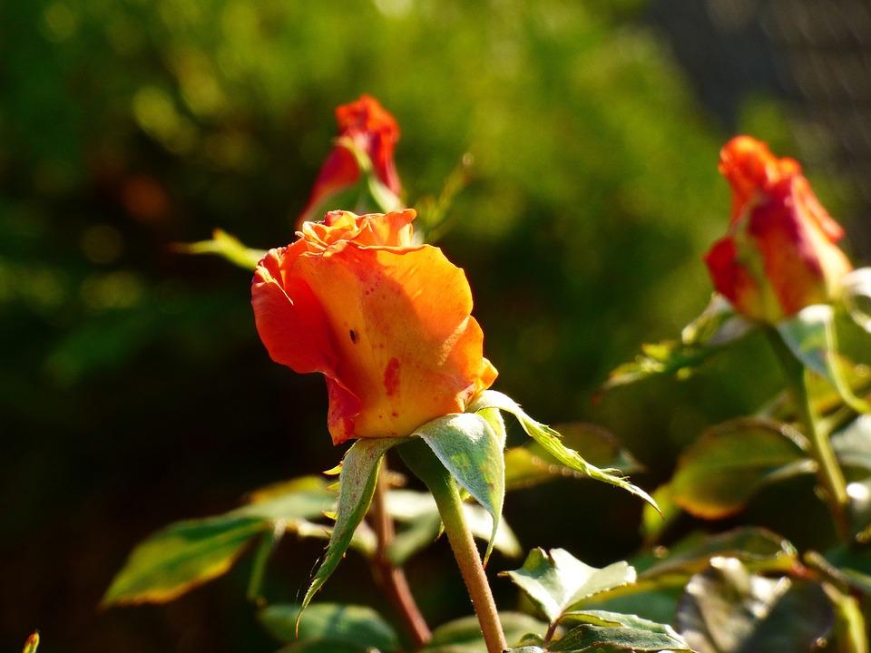 Rose, Plant, Garden, Flower