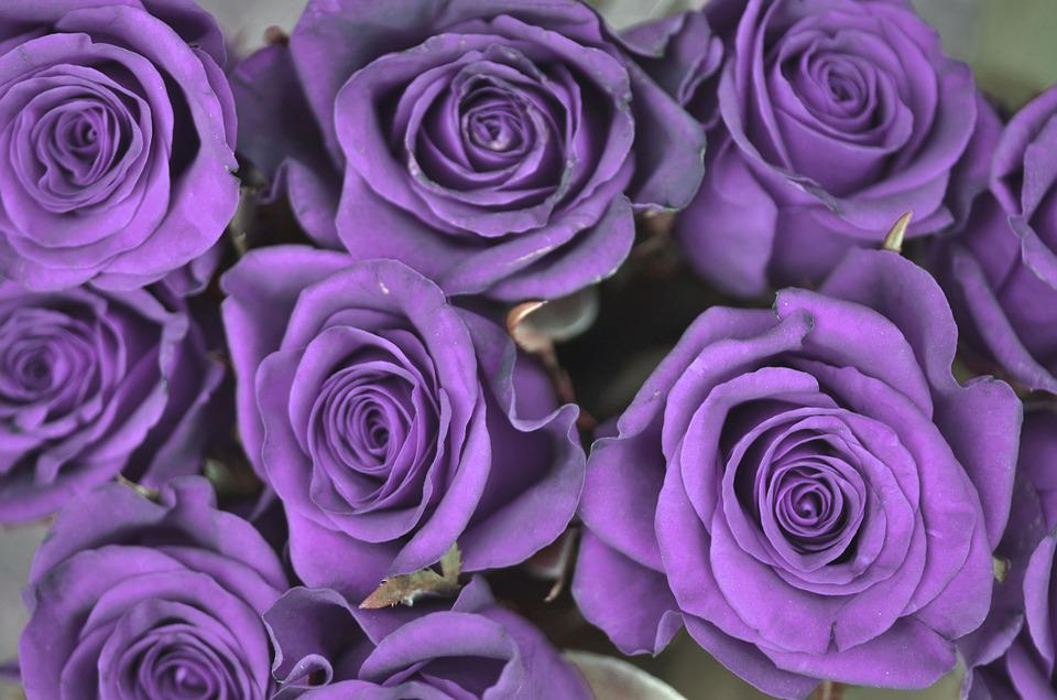Rose, Purple, Flower, Spring, Nature, Blossom, Plant