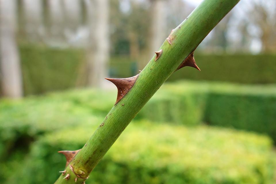 Thorn, Sharp, Prickle, Stem, Rose Stem, Rose, Plant