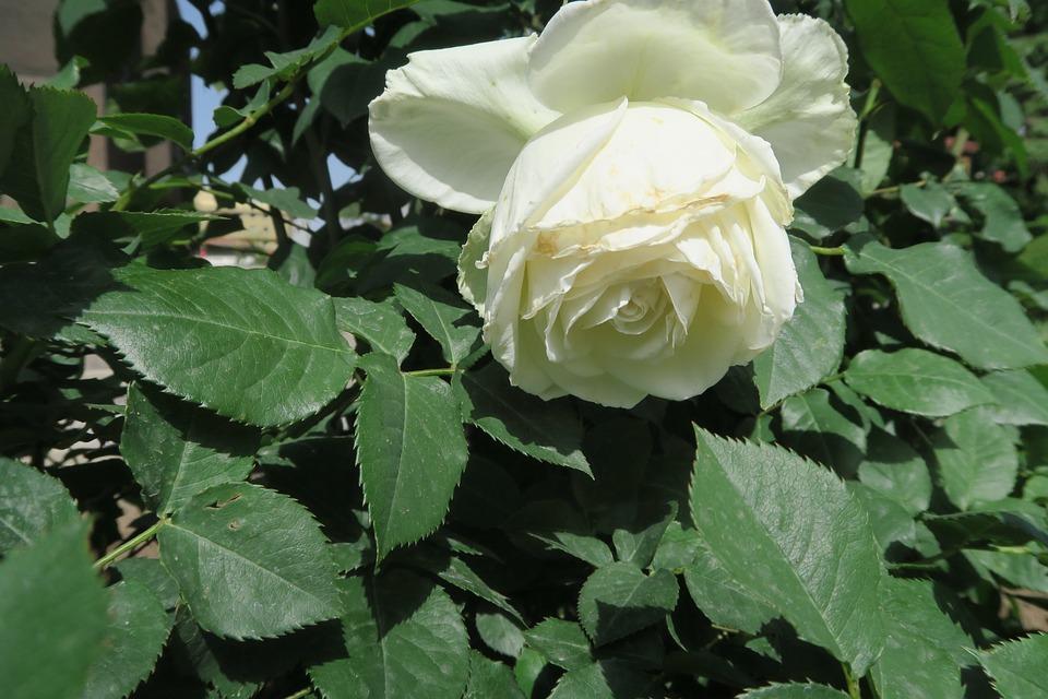 White Rose, Rose, Flower, Plant, Leaves, Nature