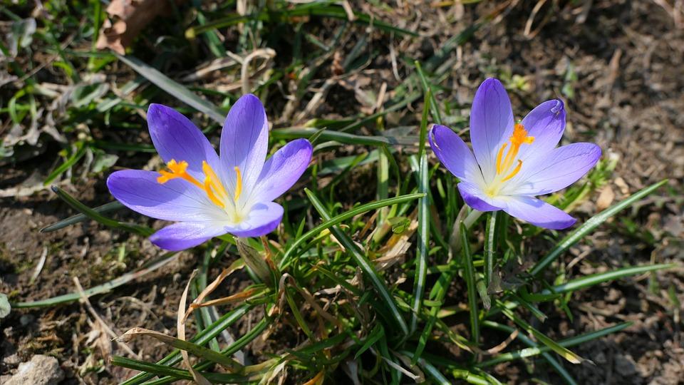 Crocus, Flowers, Spring, Flower, Plant, Figure, Saffron