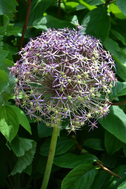 Allium, Seedhead, Flower, Ball, Plant, Ornamental