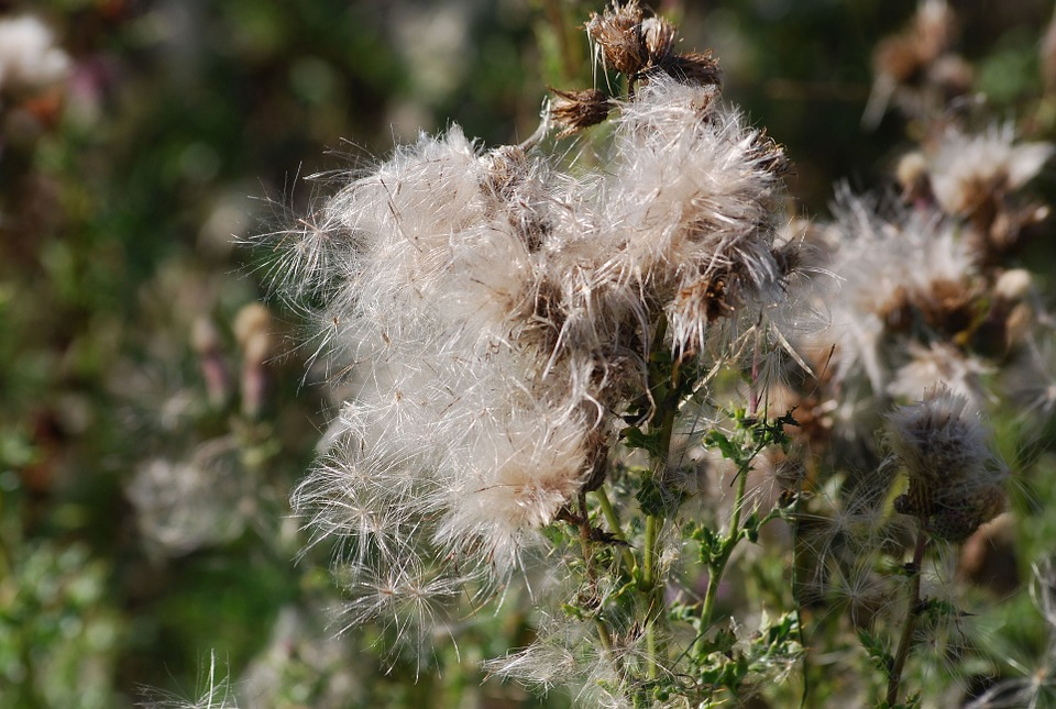 Thistle, Seeds, Thistledown, Plant, Nature