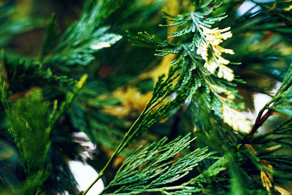 Greens, Foliage, Needles, Kidney, Plant, Sheet, Green