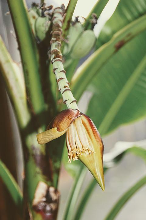 Banana, Banana Plant, Plant, Shrub, Banana Tree