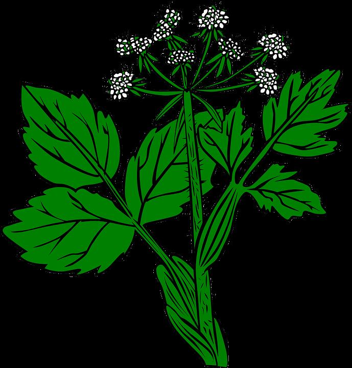 Plant, Snakeroot, White, Ageratina Altissima, Wild