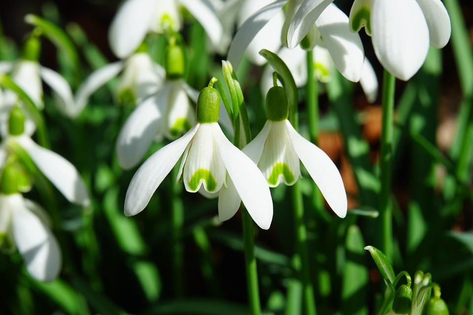 Snowdrop, Flowers, Spring Flower, Plant, Close, Macro