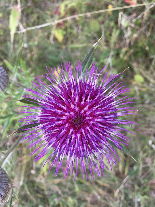 Nature, Plant, Flower, Spiked, Thistle