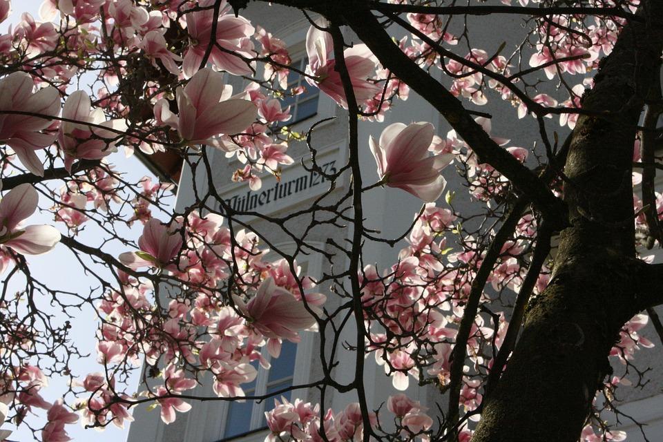 Magnolia, Spring, Blossom, Bloom, Bush, Pink, Plant