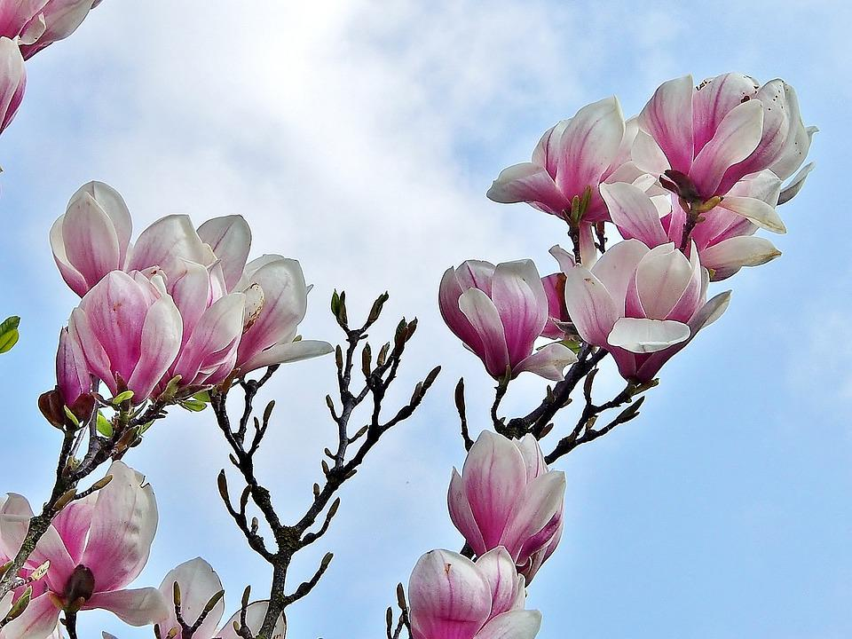 Magnolia, Flower, Plant, Nature, Spring, Purple, Pink