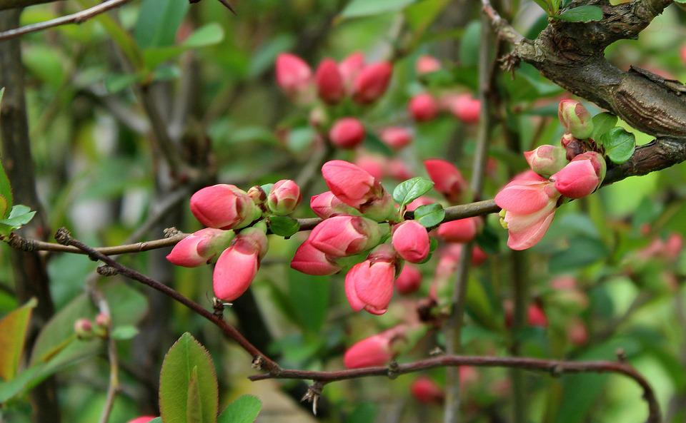 Bush, Flowering, The Buds, Spring, Nature, Plant