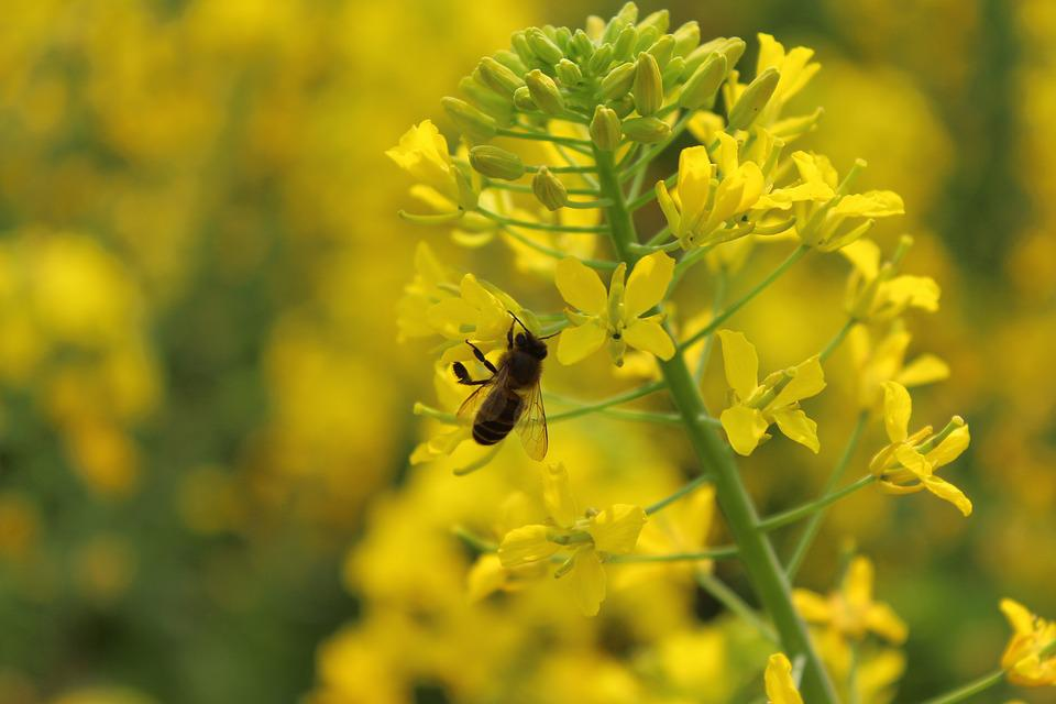 Spring, Plant, Rape, Bee
