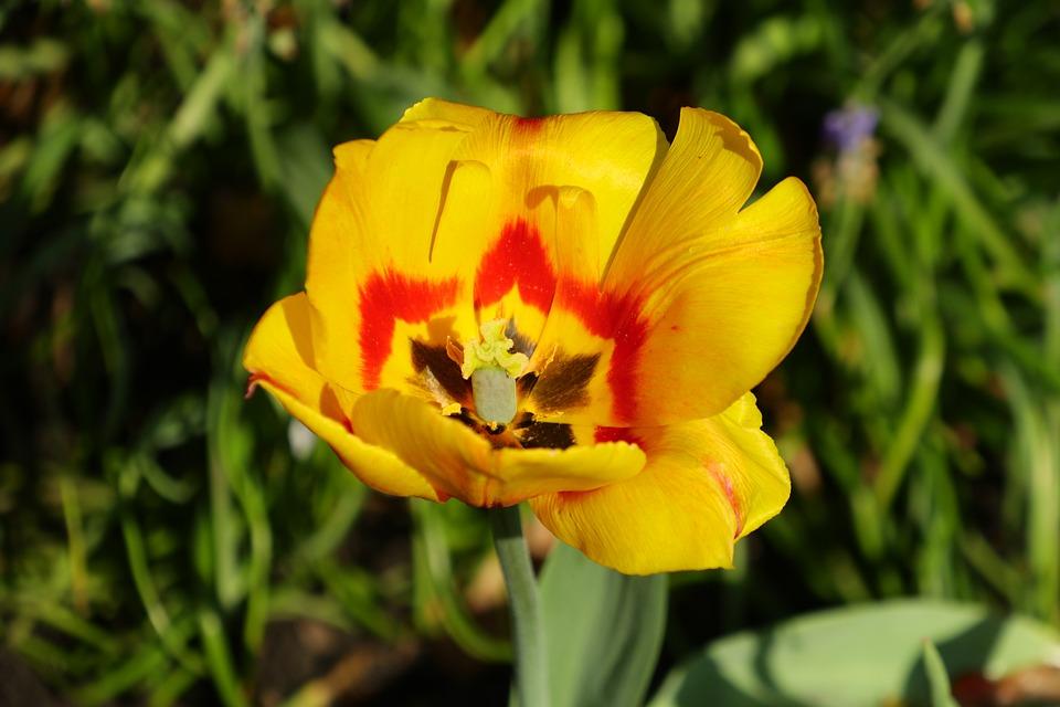 Flower, Nature, Plant, Garden, Spring, Tulip, Yellow