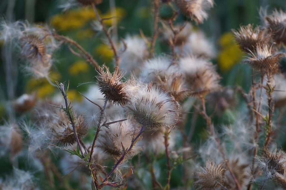 Thistle, Faded, Plant, Dry, Flora, Wild Flower, Spur