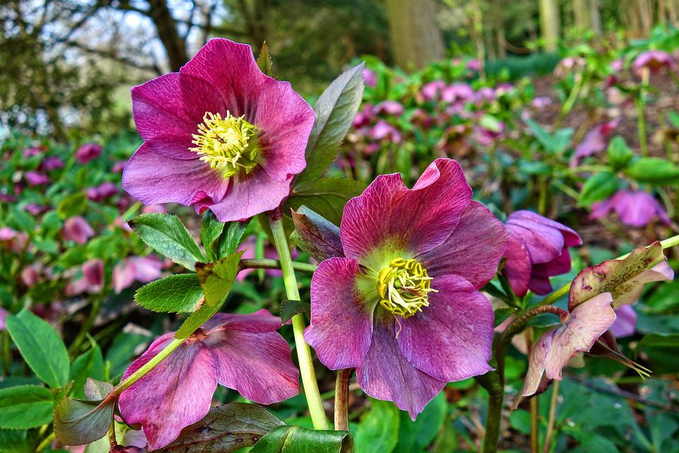 Hellebore, Flower, Plant, Petal, Pistil, Stamen